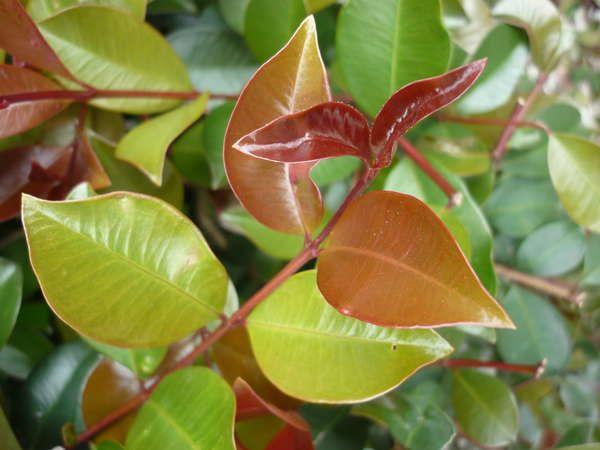 Syzygium australe 'Big Red' pbr — Warners Nurseries