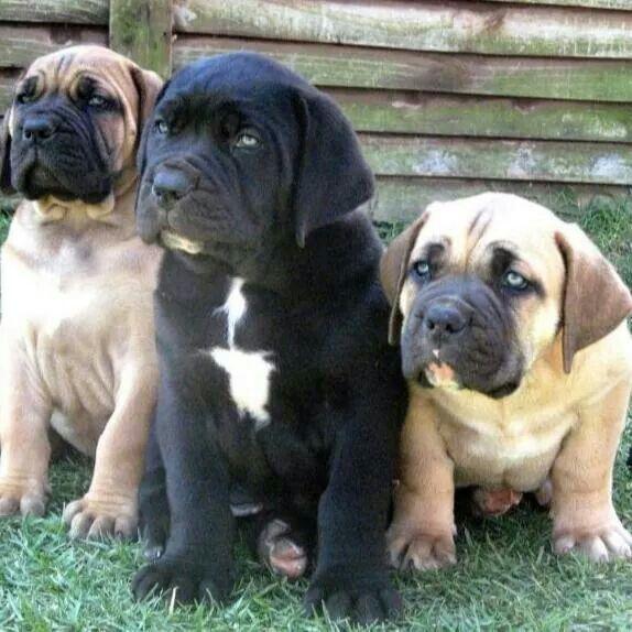 Must see Boerboel Black Adorable Dog - 1285ab918339c5fe10f5b5d0d7cfae69--south-african-boerboel-dog-search  Collection_469285  .jpg