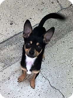 Circleville, OH - Chihuahua Mix. Meet Tanner, a puppy for adoption. http://www.adoptapet.com/pet/16841302-circleville-ohio-chihuahua-mix