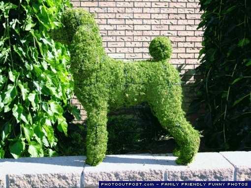 Poodle topiary. #poodle