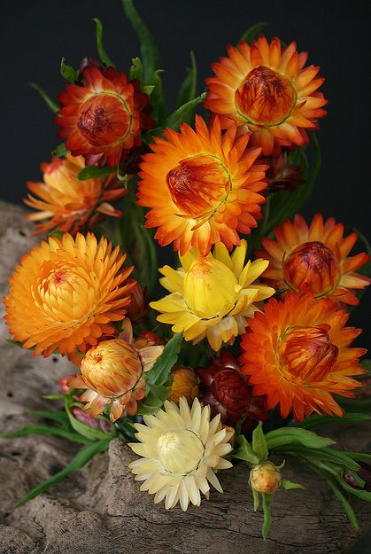 Beautiful paper daisies, in orange and yellow and lemon tones. A hugely popular flower, which is used fresh as well as dried.