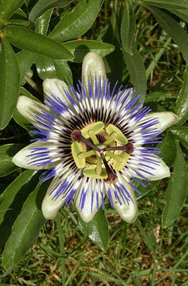 Passiflora caerulea, blue passion flower