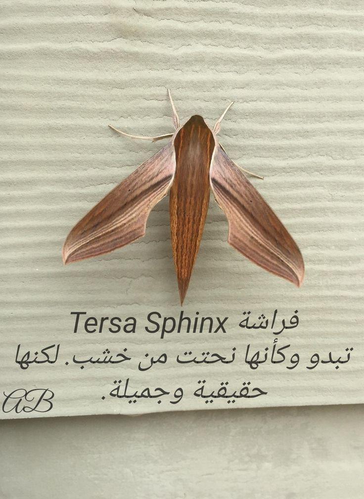 Pin By Jocelyne Heurtebise On فراشات Insects Moth Sphinx