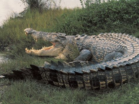 Saltwater Crocodile, the biggest in the world. I'd love to see one up close!