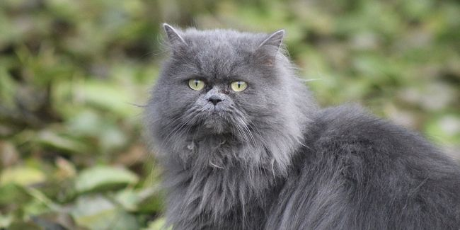 Le Chat Chartreux Caractere Masterlocksafety Le Chartreux Caractere Education Sante Prix Race In 2020 Cats Animals Ugg Boots