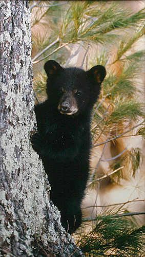 Cool place to learn about black bear cubs, black bears | In The ...