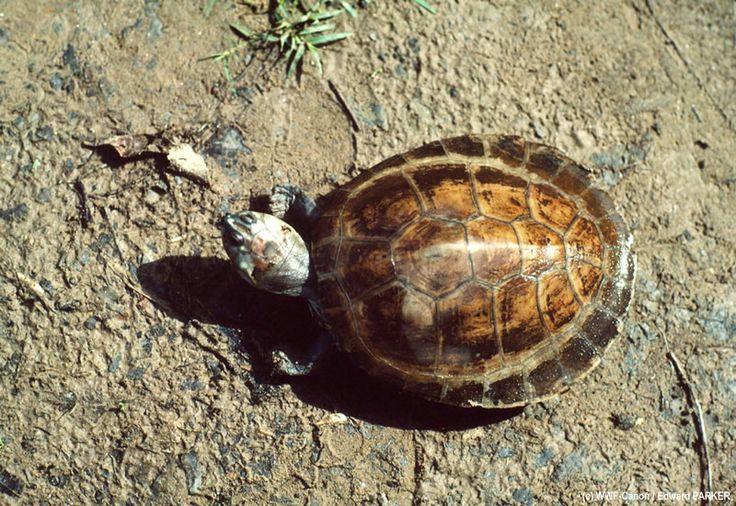 De Arrausschildpad is de meest bedreigde schildpaddensoort in het Amazonegebied