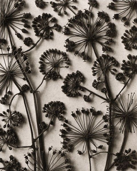 """weed known as """"queen annes lace"""", pressed and dried, spray painted black, and in a frame with glass against a real background-love! Found my next project!!"""