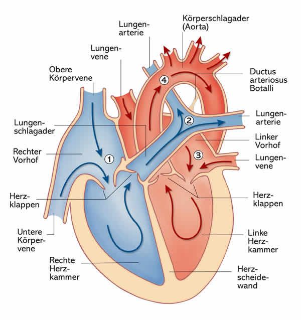 Das Herz: Aufbau, Funktion und Erkrankungen | Apotheken Umschau