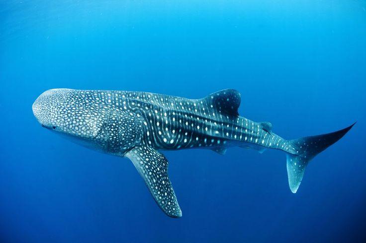 Whale shark safari, Tanzania