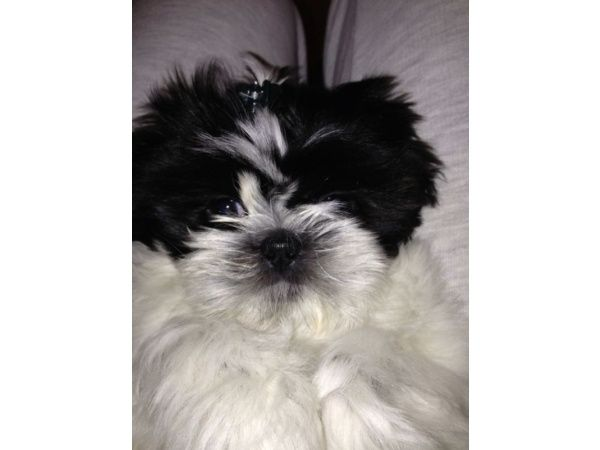 Shihtzu Pup In London Dogs And Puppies Puppies For Sale Puppies