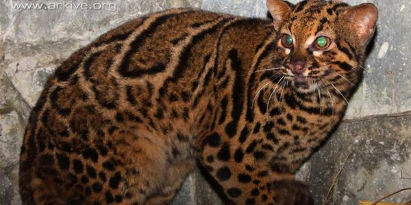 Save the Marbled Cat. http://www.thepetitionsite.com/es-es/239/802/999/save-the-marbled-cat/?taf_id=30875021&cid=fb_na