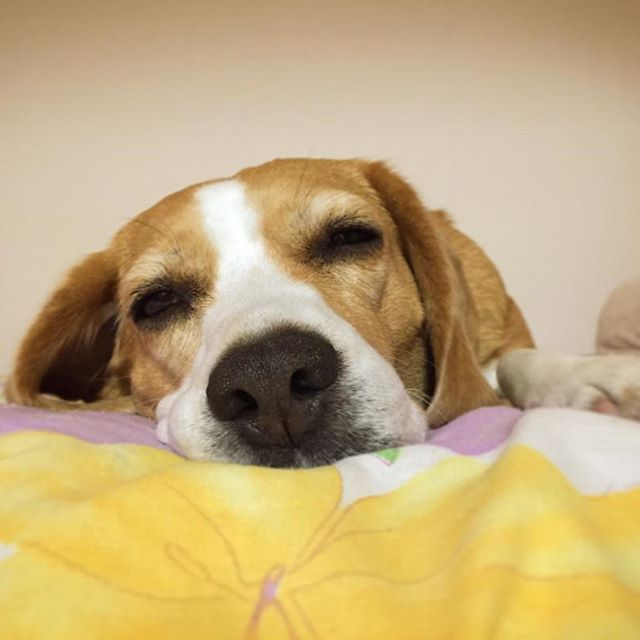☺︎* 先に寝るわんzzz... #みるく#milk#beaglelover #beagle#dog#ビーグル #justbeagles #비글 #小獵犬 #Гончая #beagles #beaglesofinstagram #beaglestagram #beaglelove #beaglemania #beaglelife #beaglelovers #beagledog #beaglegirls#beaglegirl#instabeagle#beagleworld_feature#dog#愛犬 #犬