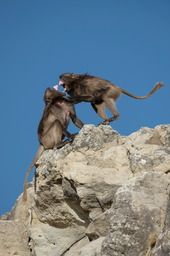 #Eyetoeye #photo #competition #heat02 #Top30 #vote #safarious by Julien Boule #baboons #fighting