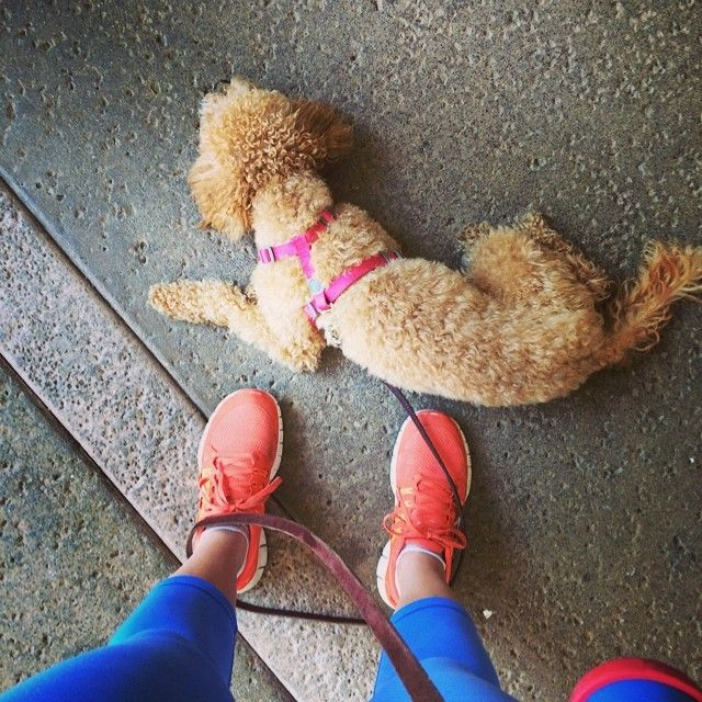 Toaster doesn't like walks #cavapoo #toastergirl