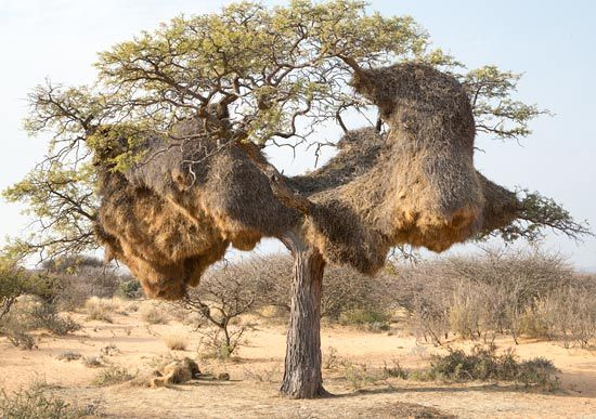 Nests of the Sociable Weaver Bird (Philetairus socius) at Witsand Nature Reserve in South Africa - photo by Warwick Tarboton; Sociable (or Social) Weavers build large compound community nests, a rarity among birds. They can look like haystacks hanging in a tree and are large enough to house over a hundred pairs of birds at a time. The permanent nests are highly structured with central chambers and outer rooms that maintain comfortable temperatures for the birds. - info from Wikipedia