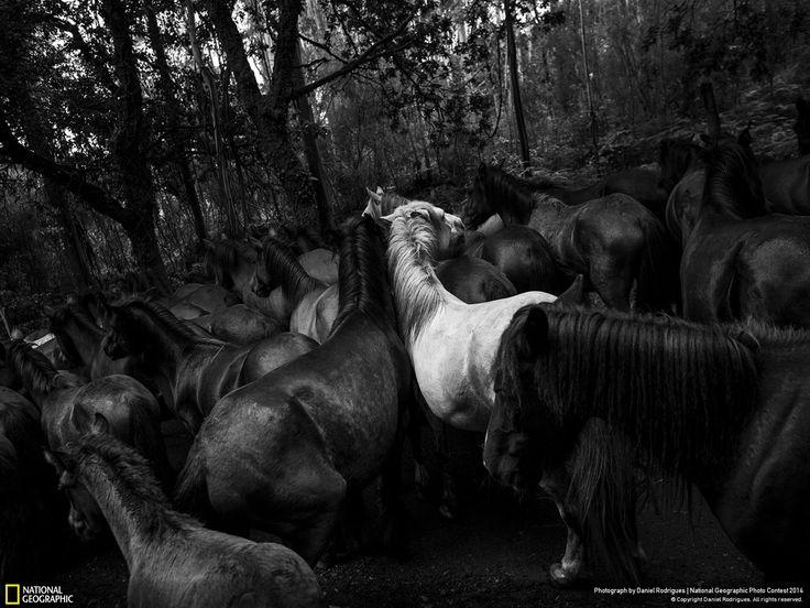 Cavalli selvatici a Sabucedo, Spagna Fotografia di Daniel Rodrigues -  National Geographic