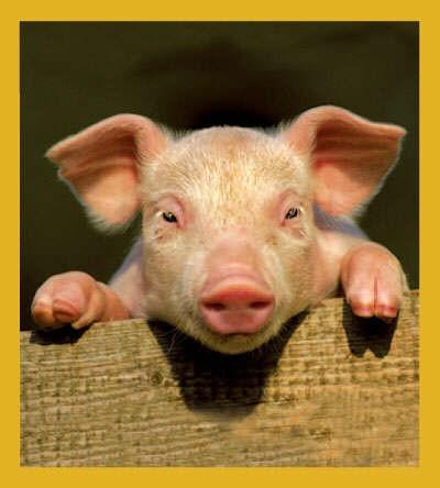 Curious Piggy #01502