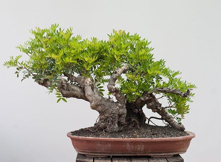 Pistacia lentiscus mastic tree bonsai pinterest trees - Romanian cherry tree varieties ...