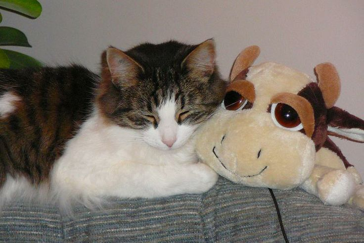 Joey....my previous kitty (and Claire the Cow from PEI, lol)
