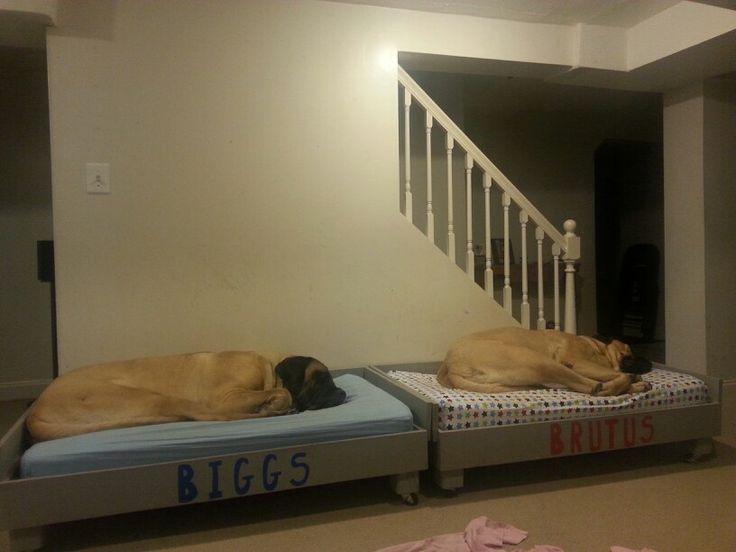 My American mastiff's, Biggs and Brutus...nap time.
