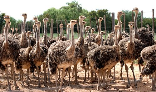 Oudtshoorn Ostriches - Garden Route, South Africa