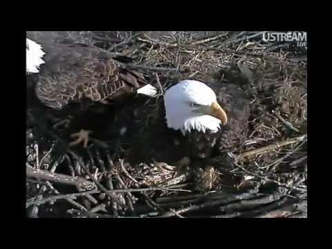 Decorah Eagles Nest Camera