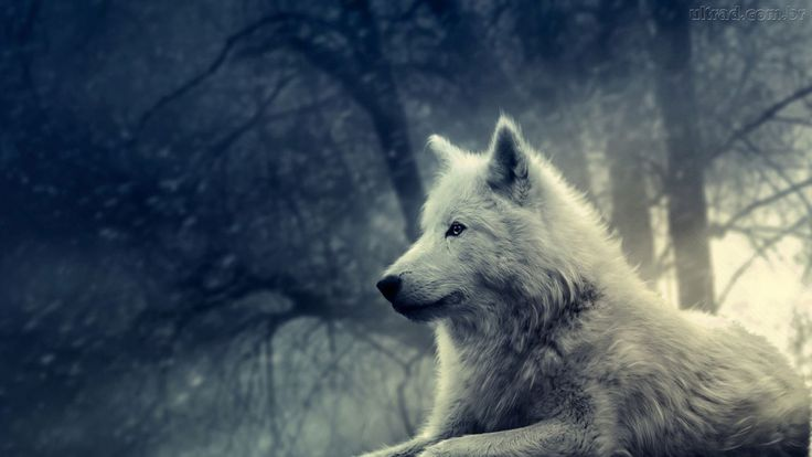 The wolf is the great teacher. It is the wise, that after many winters in the sacred path, seeking the ways of wisdom, returns to share his knowledge with the tribe.