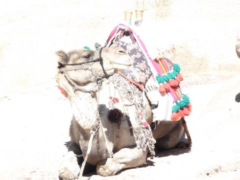 Camels are evil. St Katherines Monastery, Egypt.