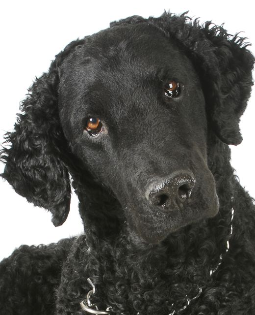 Curly Coated Retriever suited for Simbae's Long Haired Shampoo & Conditioner
