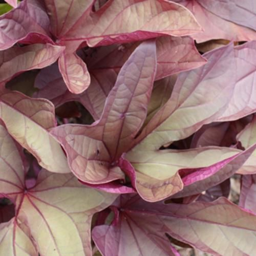 'Sweet Caroline Red' Sweet Potato Vine is a great choice for the trailing element of a hanging basket or patio combination.  http://emfl.us/jjId  #ProvenWinners
