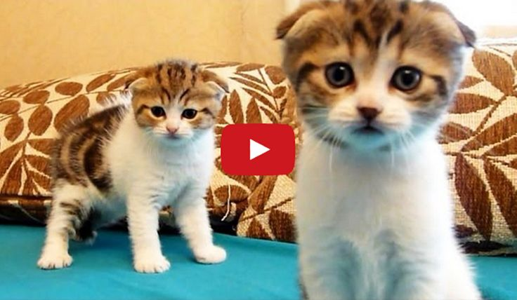Scottish Fold Kittens. I want one so BAD NOW!! They're like $1,000