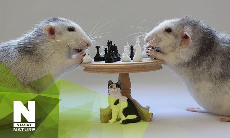 """Премьера на телеканале Viasat Nature!    На стороне царства животных: обычная крыса. Чтобы испытать их навыки, крыса и таксист будут искать дорогу в лабиринте.    Смотрите документальный сериал """"Умнее ли вы своего питомца"""" сегодня в 20:00!"""