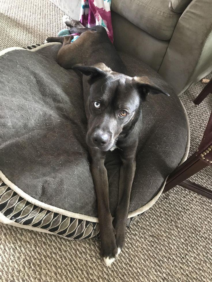 This is my very good doggo Niko! Two year old husky/pitbull mix (pitsky). http://ift.tt/2oPTvDR