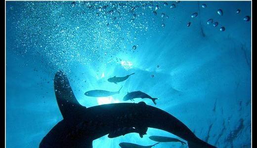 Un Gran Tiburón Blanco muere después de tres días de cautiverio  | La Reserva