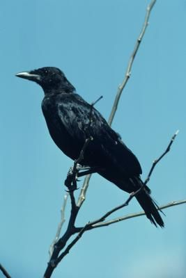 While some people consider crows a nuisance, many regard the presence of the birds as a benefit. A small flock of crows will eat a vast quantity of the very types of insects most fruit and vegetable ...