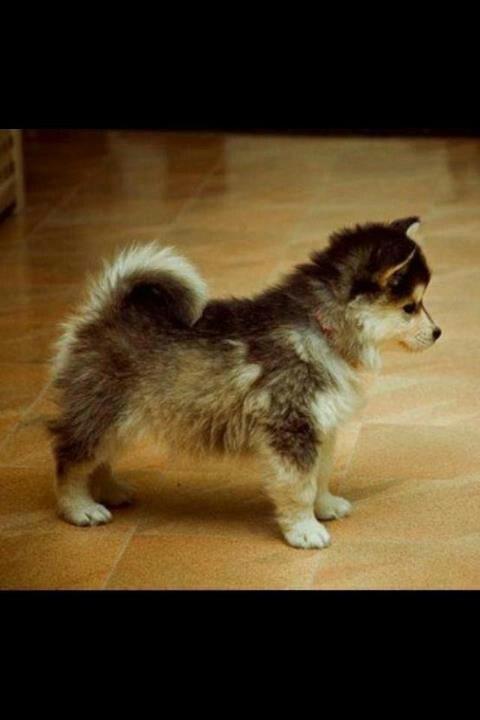 Husky Pomeranian