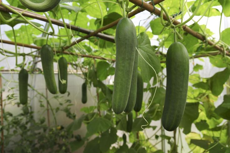 Best Companion Plants For Cucumbers And Those To Avoid In 400 x 300