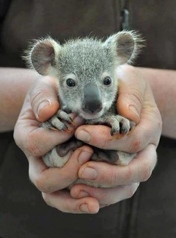 Koala....;-)