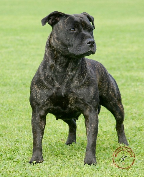 blue english staffordshire bull terrier the 25 best blue staffy ideas on pinterest blue pitbull 3468