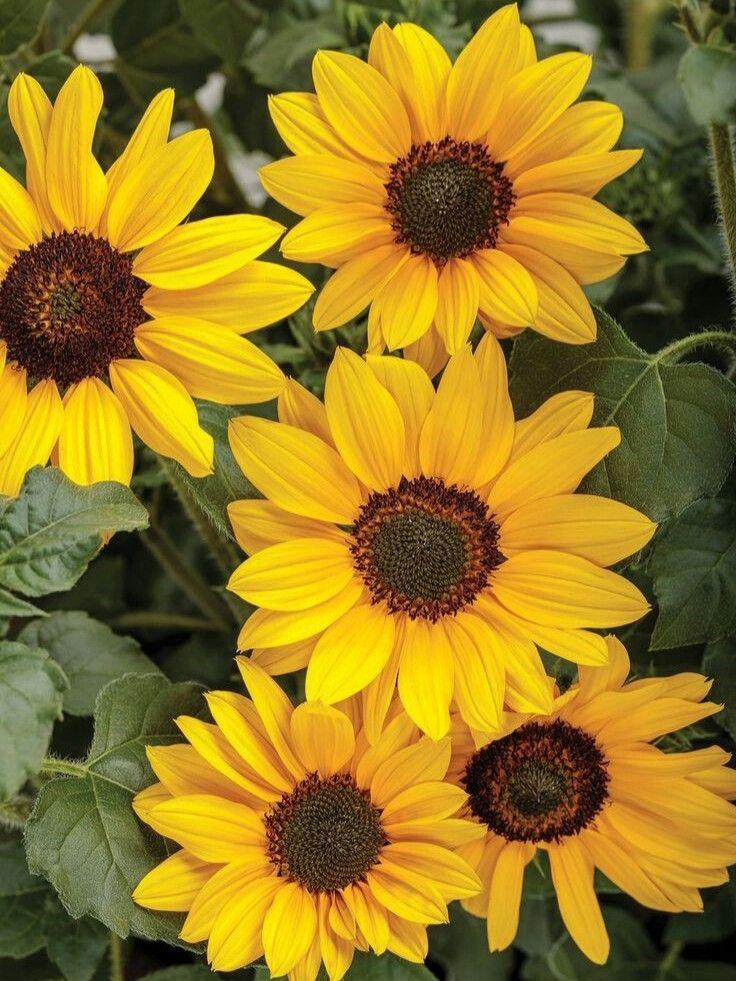 Fondo De Pantalla Foto Fotografía Pinterest Rojo Carmesí Flores Flor Girasol Girasoles Ama Sunflower Pictures Sunflower Flower Types Of Sunflowers