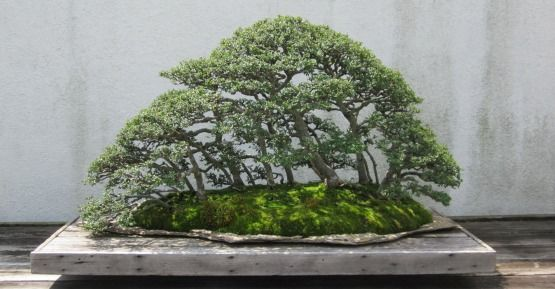 The Chinese elm bonsai tree is a favorite of growers everywhere.  It is especially popular with beginners.  It's fast growing and easy to care for.   Read more: http://www.bonsaimary.com/Chinese-Elm-Bonsai.html#ixzz4KR6BXSkG