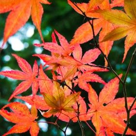 Red Maple / 500px