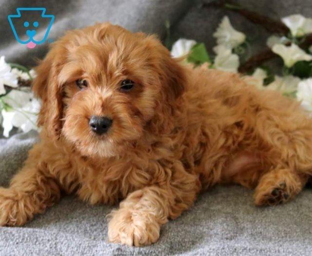 Melody Cavapoo Puppies Cavapoo Puppies For Sale Cavapoo