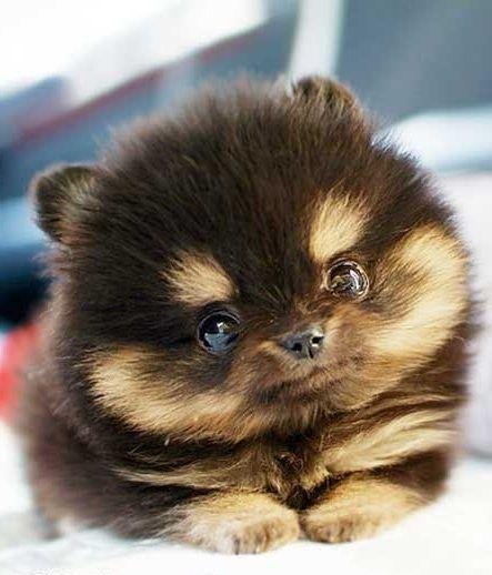 Micro Mini Dog Breeds Goldenacresdogs