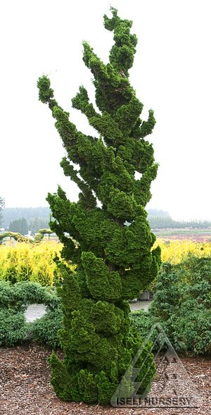 Chamaecyparis obtusa 'Spiralis' Nice dwarf upright Japanese Hinoki Cypress. Deep green leaves on tight stems on an upright narrow plant. Leaves almost in twisted whorls. Good for troughs. Found around