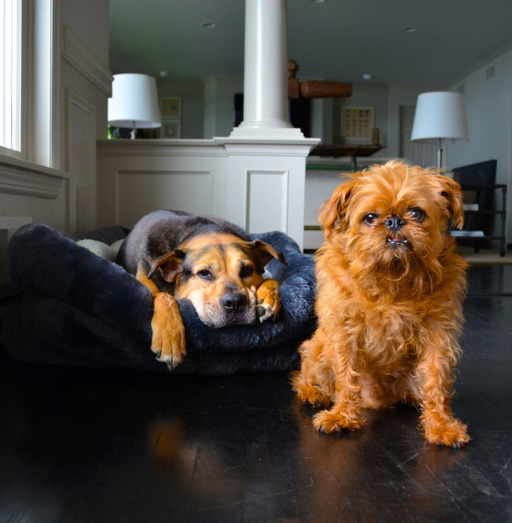 Jack and Walter...Brothers from another mother. #brusselsgriffon #gsd #rescue