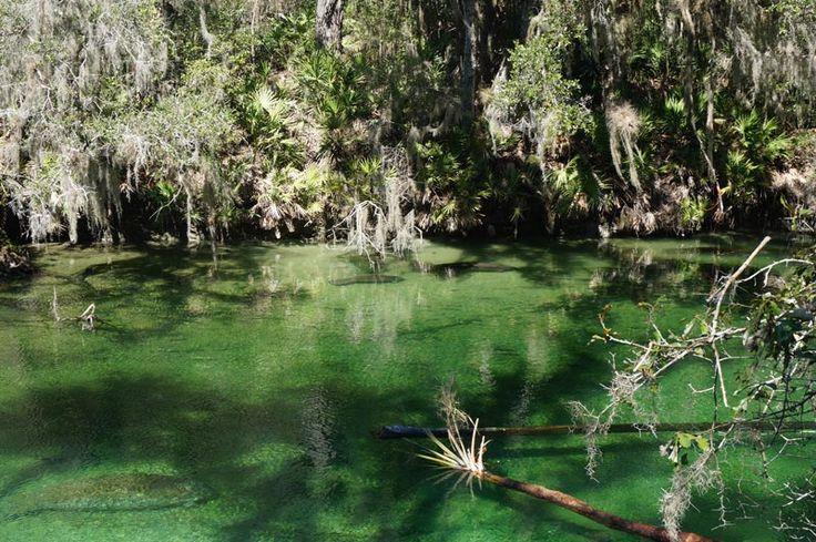 Manatees at Blue Spring National Park Florida.