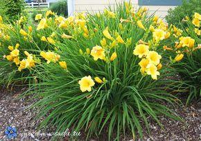 Лилейник.Требует полива в засуху, может расти вдоль берегов водоемов и вдоль дома. Высота растения 90 см. Окраска цветов желтая, оранжевая, темно — красная. Многолетнее растение, которое размножается делением кустов. Источник: http://www.dom-v-sadu.ru/kakie-cvety-posadit-v-teni/ © Dom-v-sadu.ru.