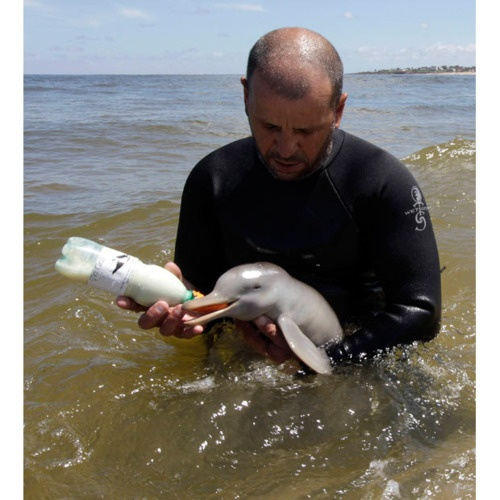 Richard Tesore, head of SOS Rescate Fauna Marina, feeds a female baby La Plata Dolphin (Pontoporia blainvillei) in the sea off Piriapolis, 90 km east of Montevideo, Uruguay. The dolphin, with its umbilical cord still attached, was found beached near Montevideo and was sent to the NGO. Picture: REUTERS/Andres Stapff